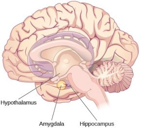 The brain, emotions and behaviours BLOG 1a emotional brain