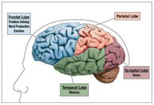 The brain, emotions and behaviours BLOG 1b rational brain